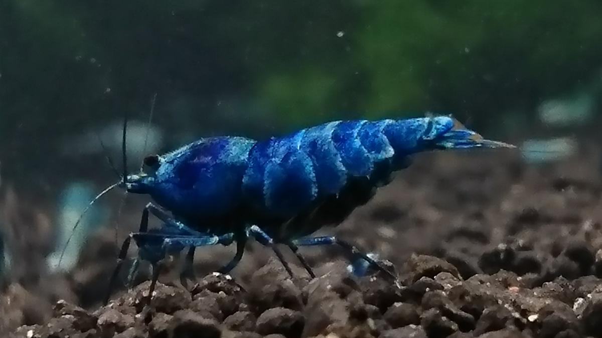 鮮やかな青☆ブルーターコイズ抱卵個体◇おまけに幼えび2匹☆合計3匹の出品になります◇ゆきえび◇_画像10
