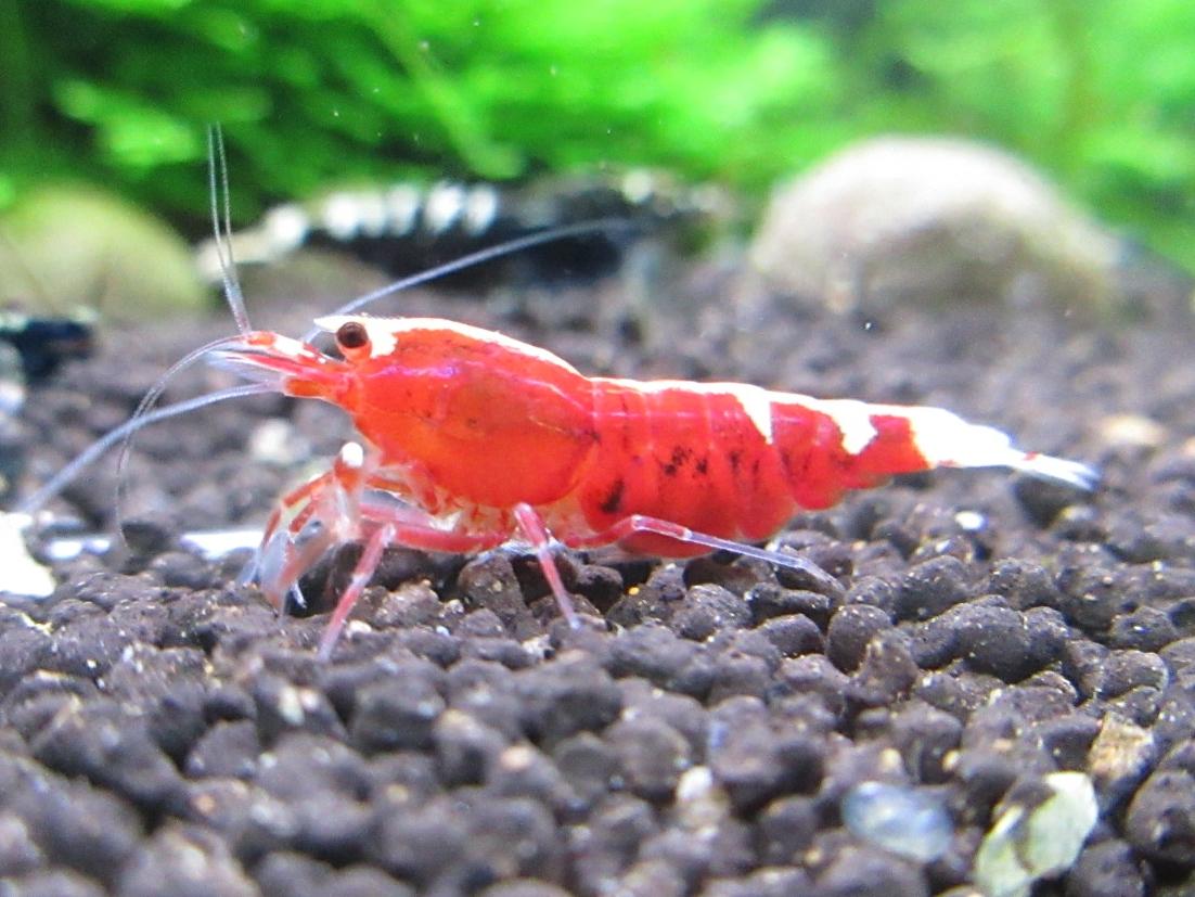 〈音姫えび〉☆ZEUSshrimp☆レッド抱卵♀ 3月23日(金)発送希望!