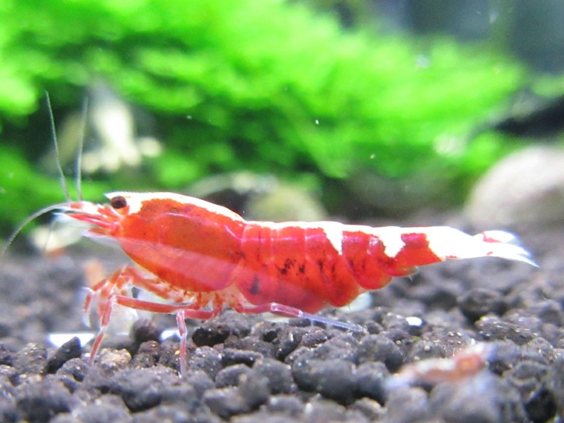 〈音姫えび〉☆ZEUSshrimp☆レッド抱卵♀ 3月23日(金)発送希望!_画像2