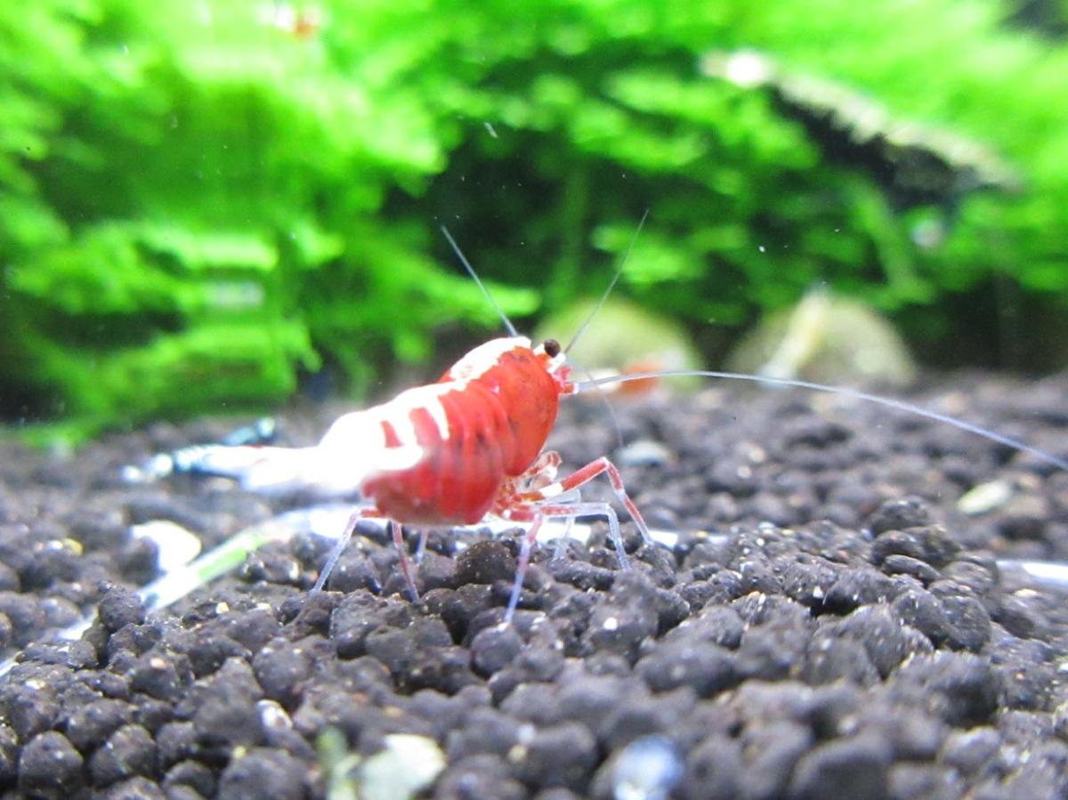 〈音姫えび〉☆ZEUSshrimp☆レッド抱卵♀ 3月23日(金)発送希望!_画像6