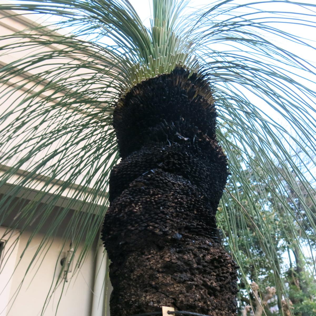 オーストラリア グラスツリー シンボルツリーに最適。 子株2つ付き_画像4