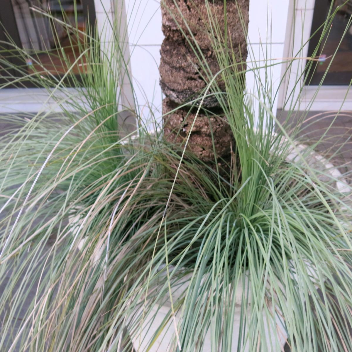 オーストラリア グラスツリー シンボルツリーに最適。 子株2つ付き_画像3