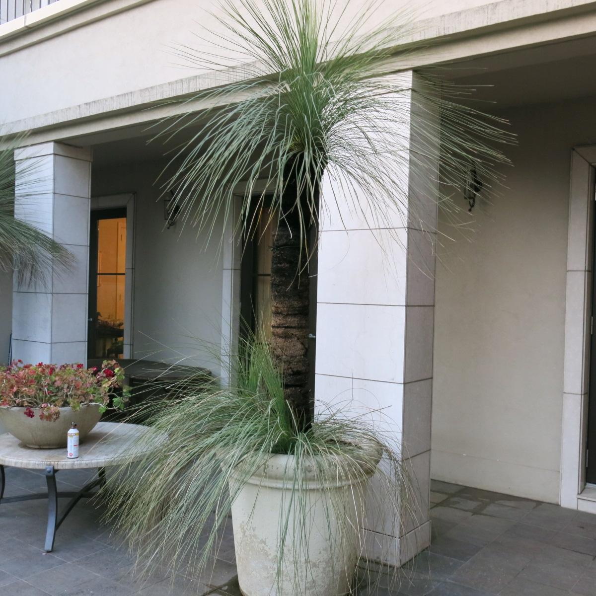 オーストラリア グラスツリー シンボルツリーに最適。 子株2つ付き_画像2