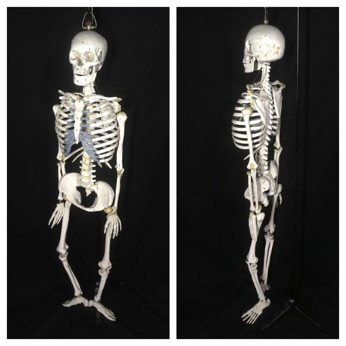 骨格人体模型 等身大 接骨院 教材用 医学部 整体 スタンド付 全長約147cm