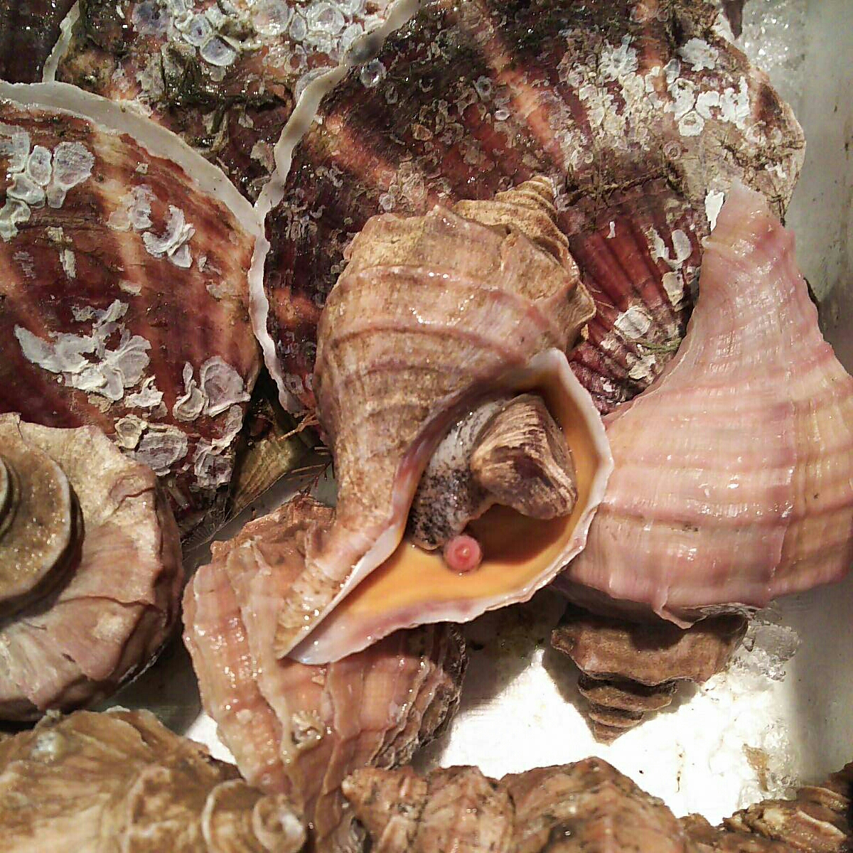 殻ホタテ貝7個大きめつぶかい1.7キロ一箱セット。写真の生を冷凍させてあります。さまざまなお料理にどうぞ!_画像4