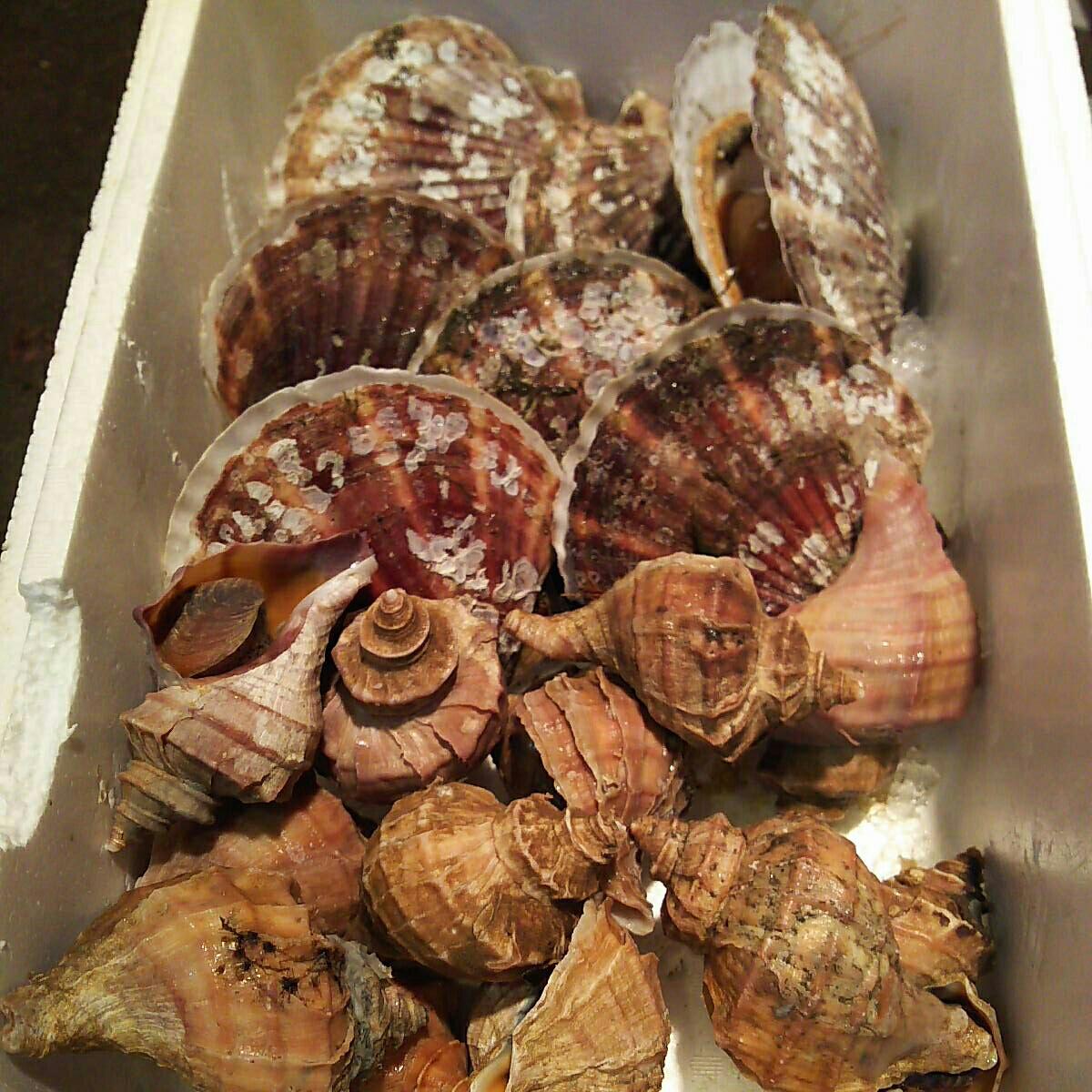 殻ホタテ貝7個大きめつぶかい1.7キロ一箱セット。写真の生を冷凍させてあります。さまざまなお料理にどうぞ!