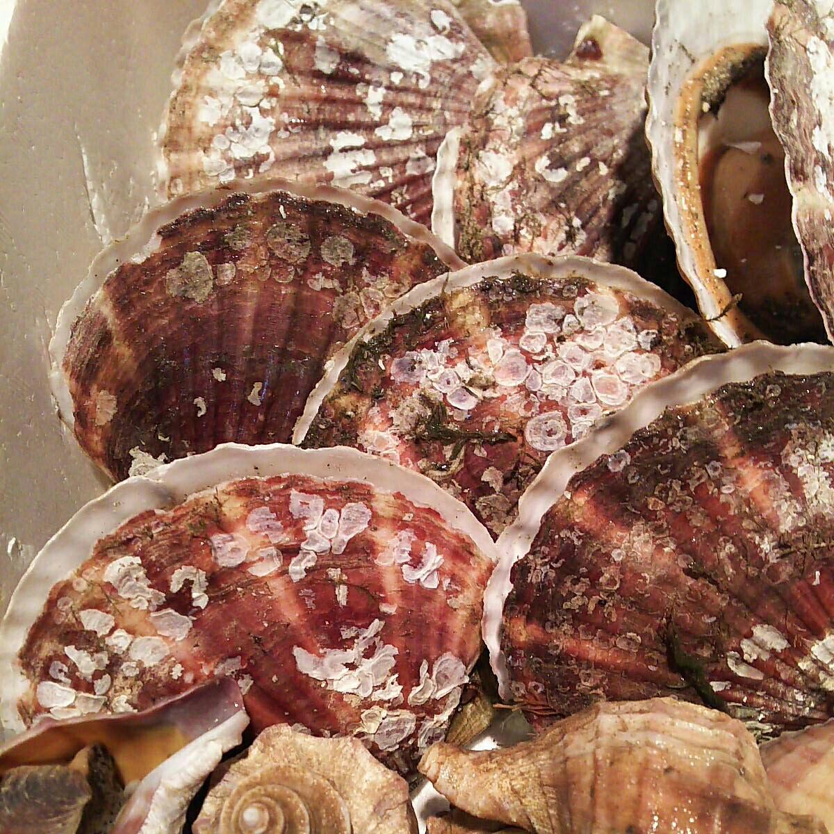 殻ホタテ貝7個大きめつぶかい1.7キロ一箱セット。写真の生を冷凍させてあります。さまざまなお料理にどうぞ!_画像3