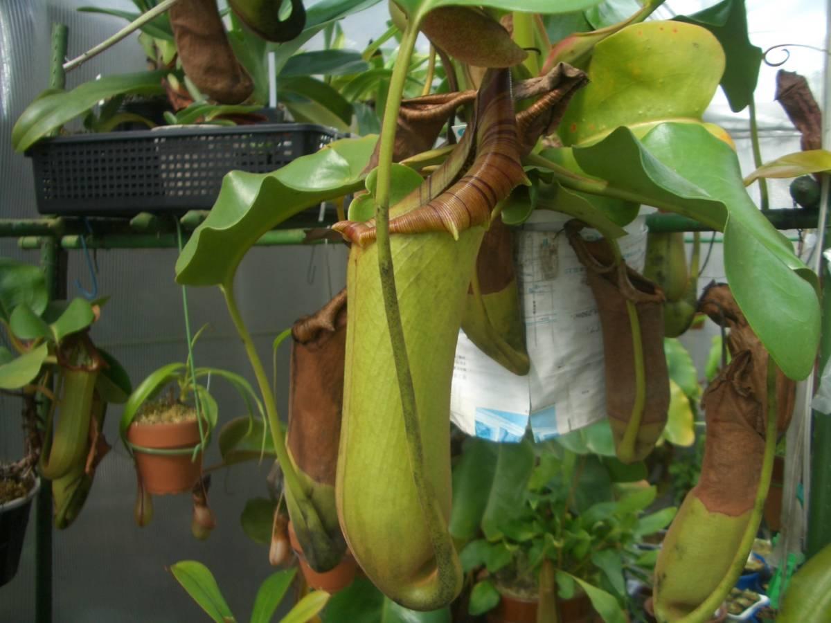 食虫植物 ネペンテス トランカータ 02 ・・_参考写真