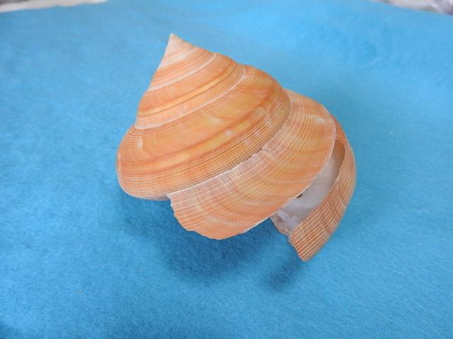 貝の標本 貝殻 テラマチオキナエビス 蓋付 97mm(オキナエビス ガイ科)_画像2