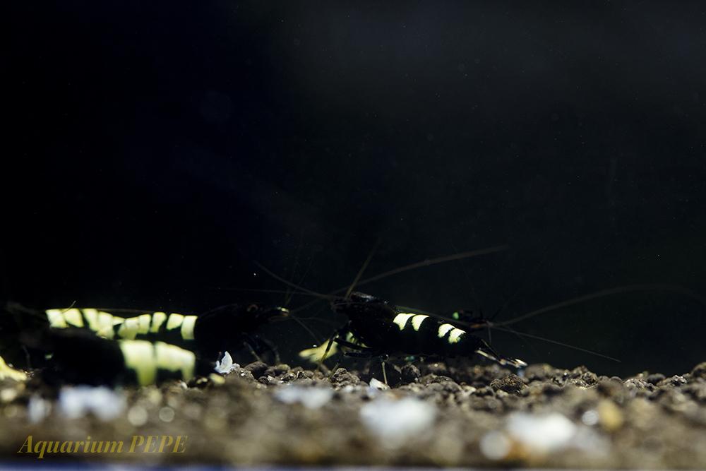 〓GP〓 ピントビーシュリンプ(アストリッド純血) 綺麗な繁殖サイズ8匹セット_画像5