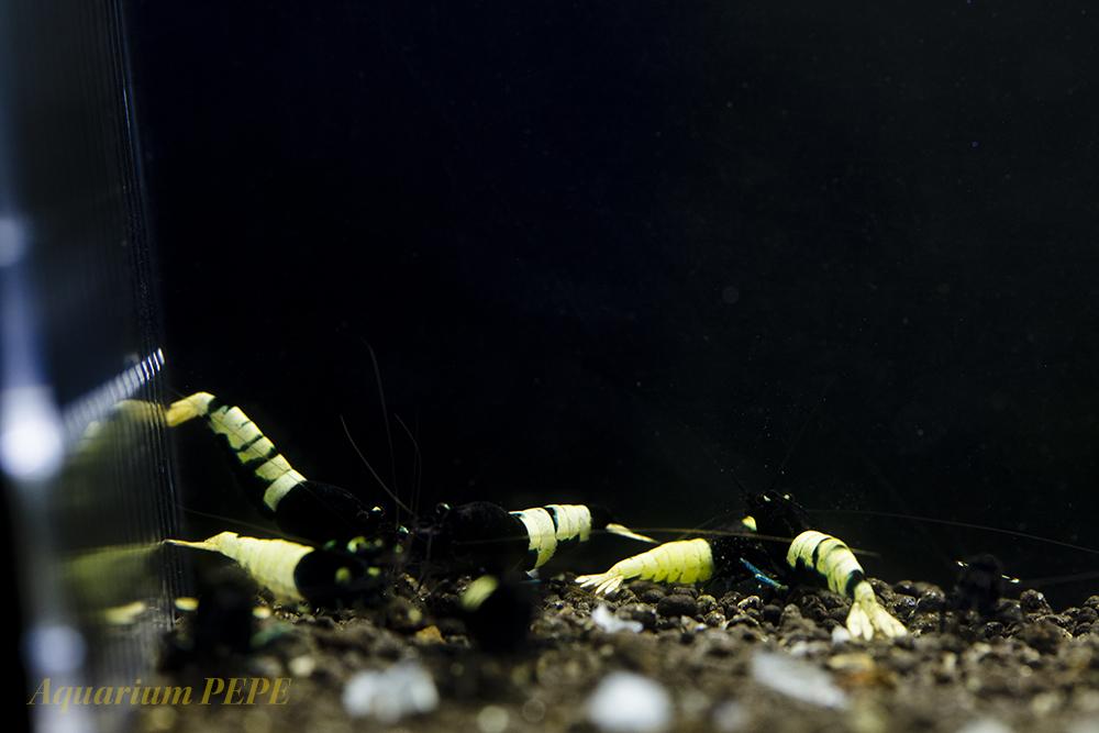 〓GP〓 ピントビーシュリンプ(アストリッド純血) 綺麗な繁殖サイズ8匹セット_画像2