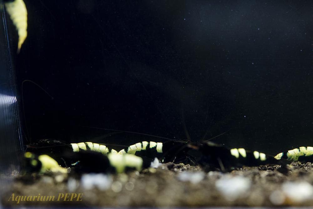 〓GP〓 ピントビーシュリンプ(アストリッド純血) 綺麗な繁殖サイズ8匹セット_画像6