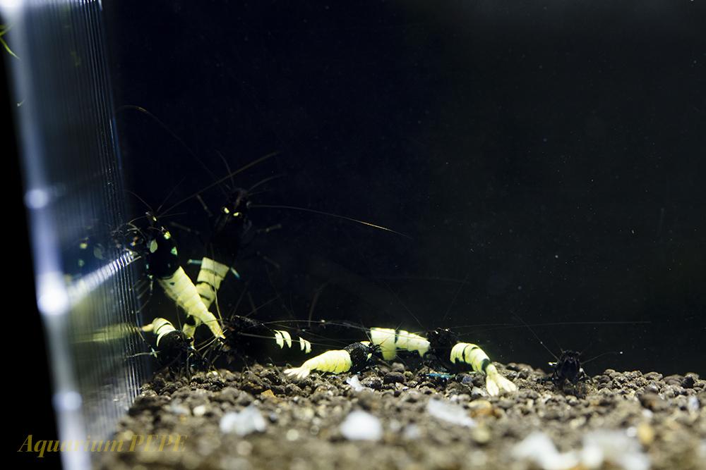 〓GP〓 ピントビーシュリンプ(アストリッド純血) 綺麗な繁殖サイズ8匹セット