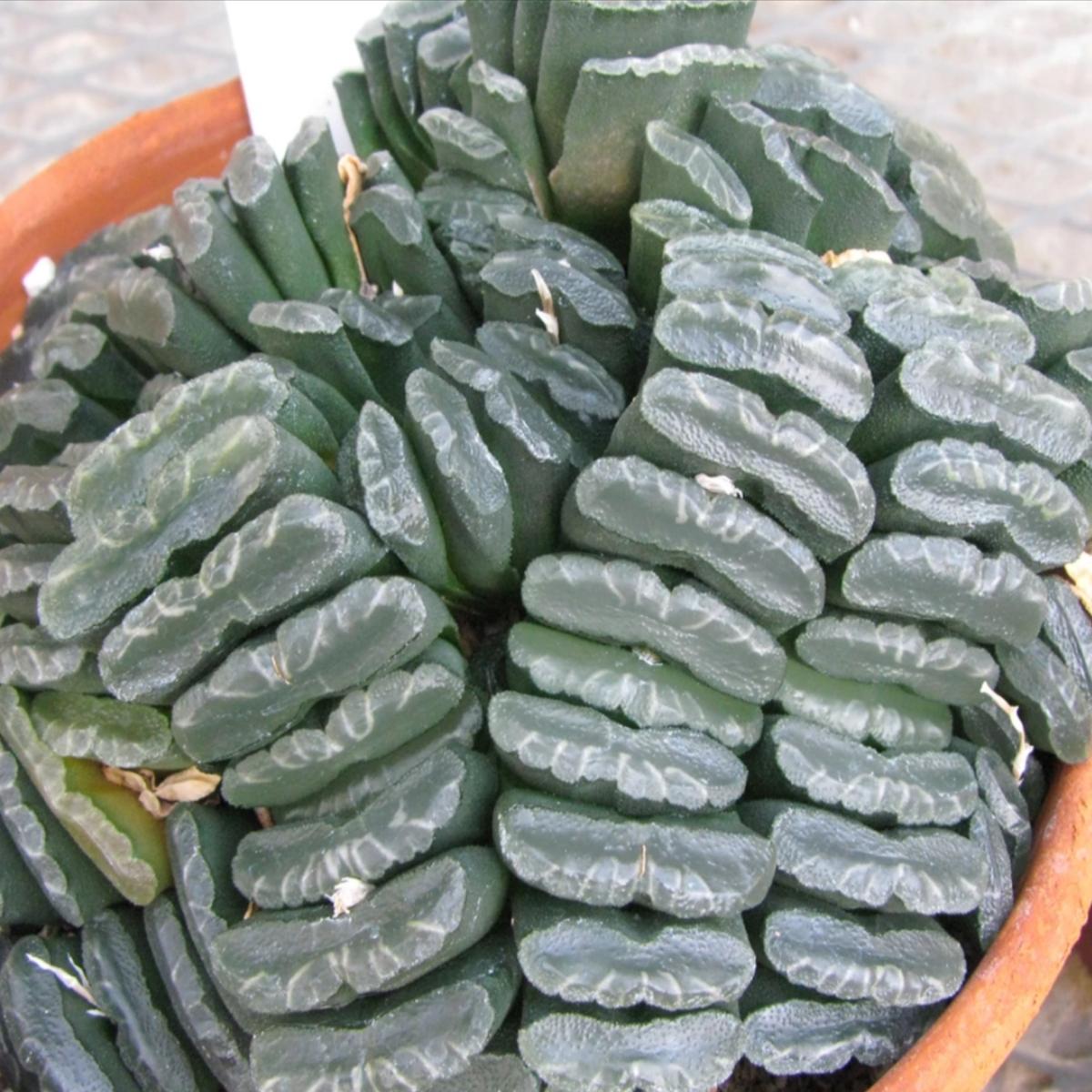 多肉植物 ハオルチア ツルンカータ シースルー 種 2粒 園芸 ガーデニング_画像2
