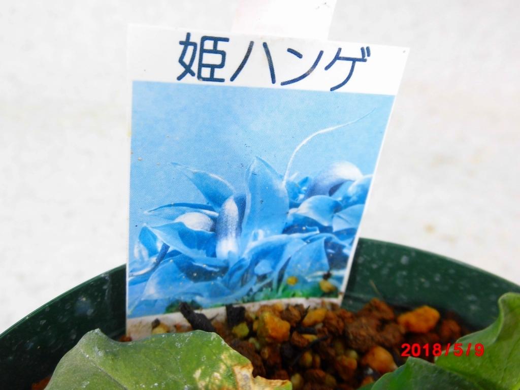 [盆栽五百園] 姫ハンゲ (2650733) _画像3