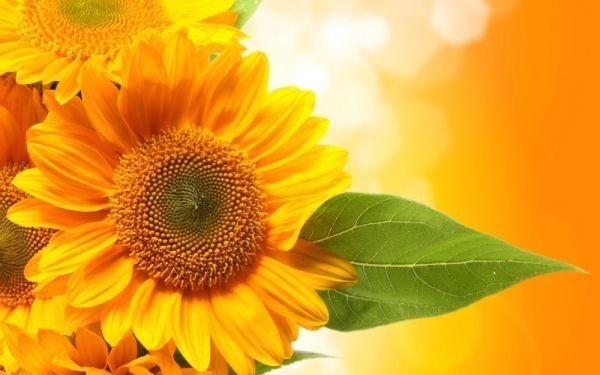 ひまわり 向日葵 ヒマワリ 太陽の花 サンフラワー 花 絵画風 新素材壁紙ポスター 特大ワイド版921×576mm (はがせるシール式) 007W1 印刷物&ポスター&科学、自然