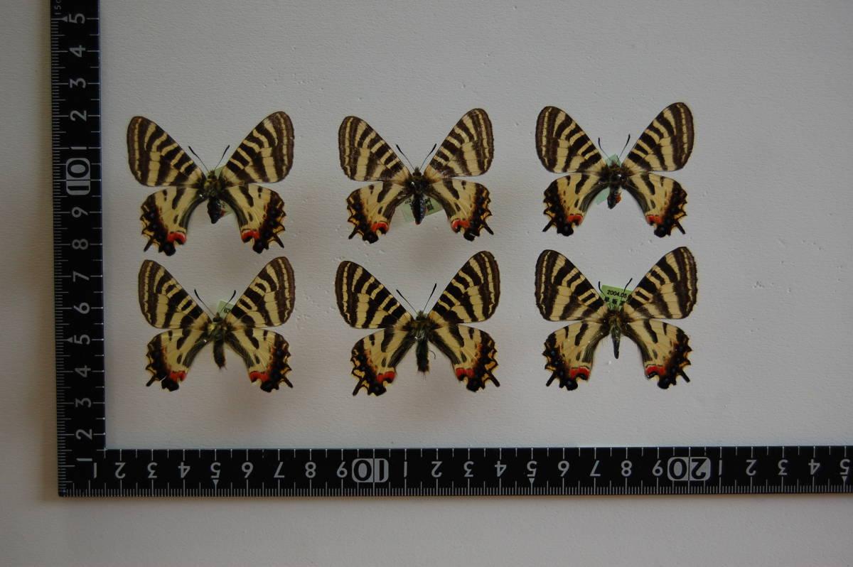 国産蝶標本 ヒメギフチョウ(岩手県内陸)3産地3ペア