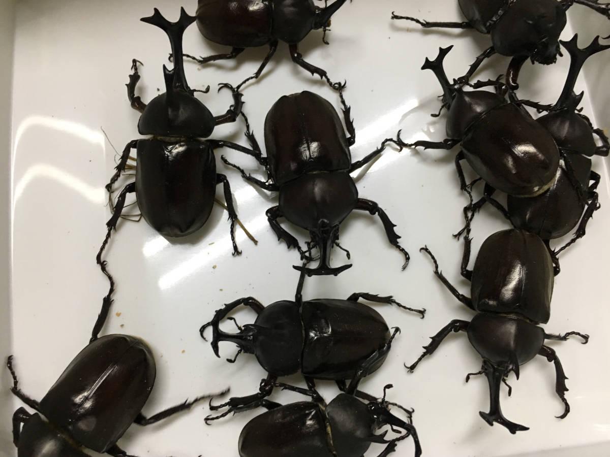 群馬県産 天然カブトムシ♂♀フリーサイズ12ペア 直接引取も可