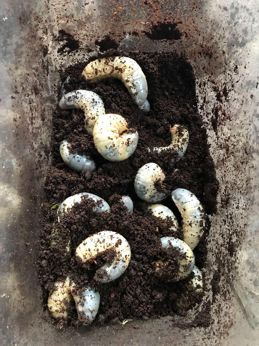 最終出品 カブト虫幼虫 サナギ間近 10匹 小学生 夏休み 自由研究