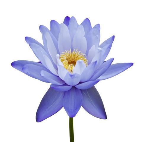 ★SALE残り僅か★高品質&格安★ブルーロータス「ブルー・ウオーター・リリィ」/Blue Lotus Absolute8% 30ml ×2本_画像1