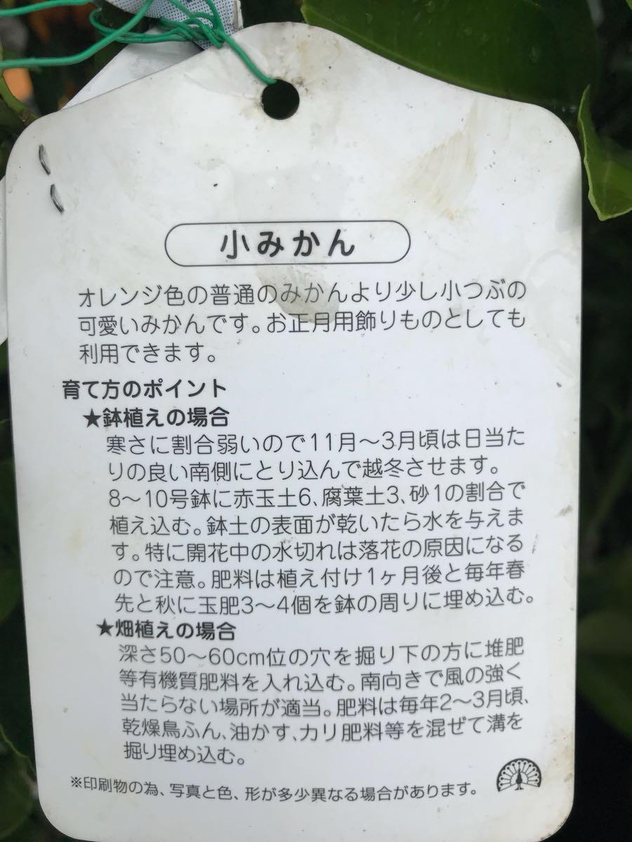 小みかん苗木_画像2