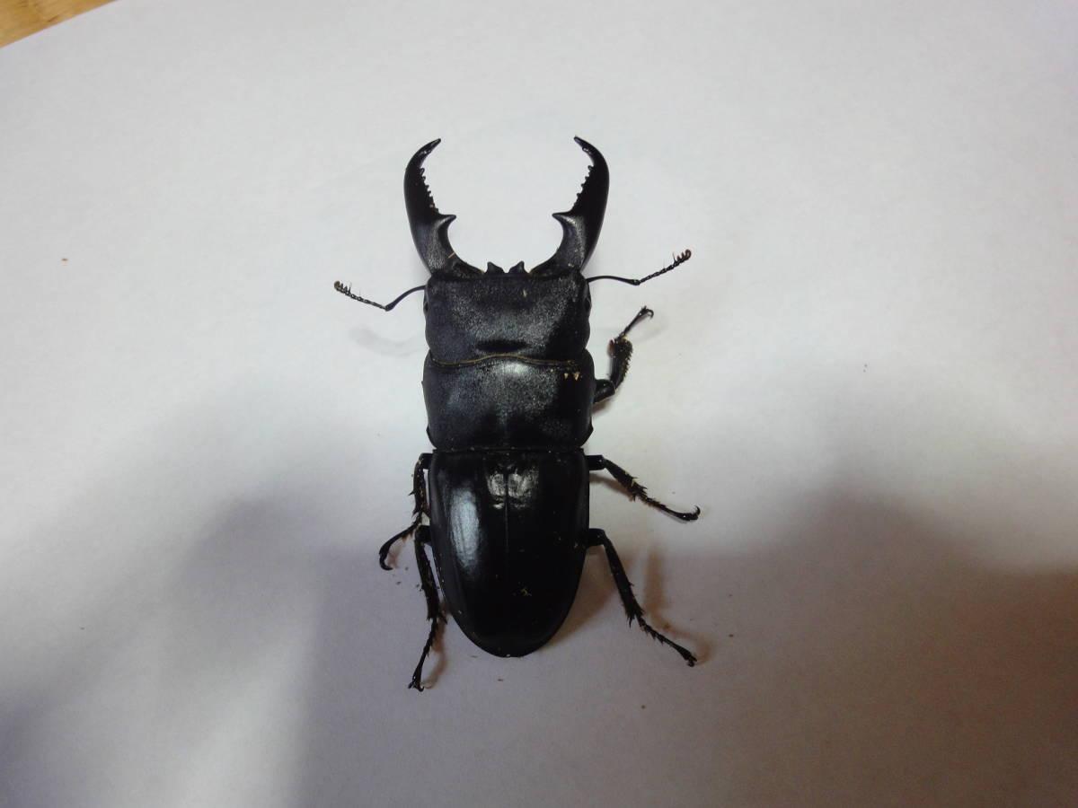 本土ヒラタクワガタ 香川県高松市産 WF1 ♂9匹 ♀16匹