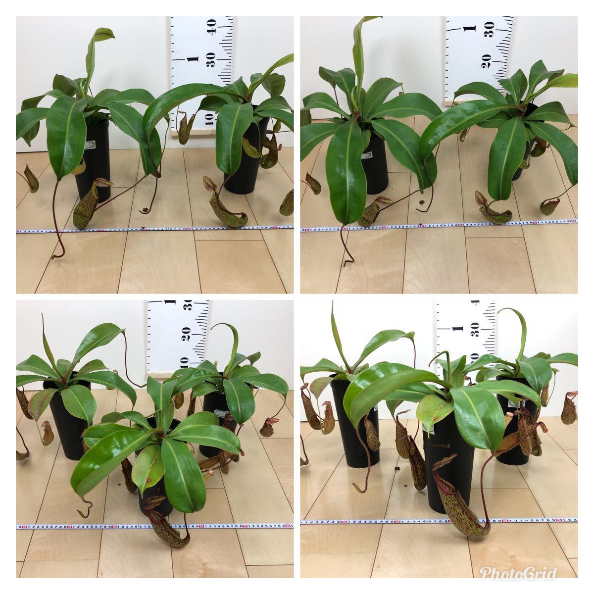 """【食虫植物 ウツボカズラ ネペンテス""""ジェントル""""  3.5号 5鉢セット】_画像10"""