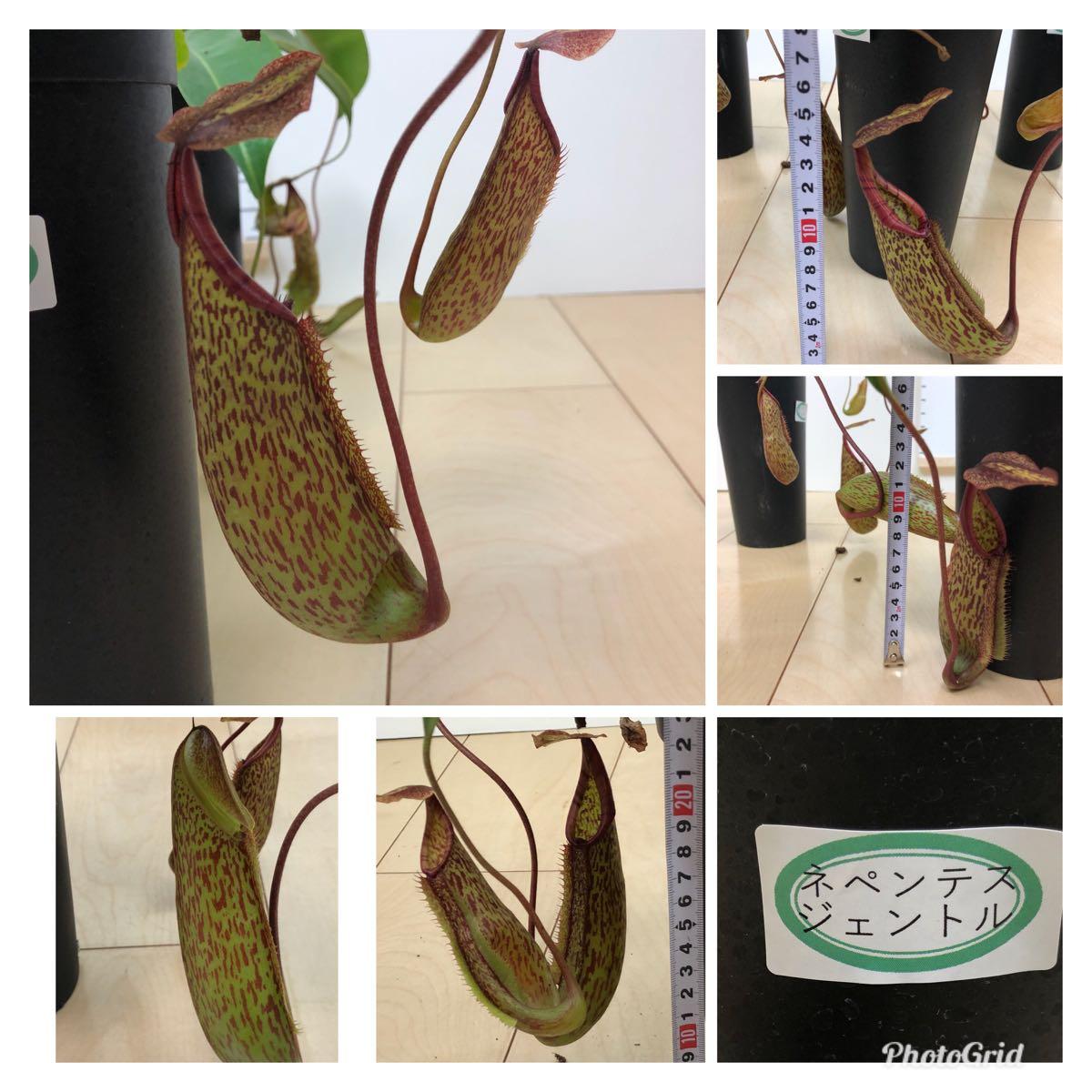 """【食虫植物 ウツボカズラ ネペンテス""""ジェントル""""  3.5号 5鉢セット】_画像3"""