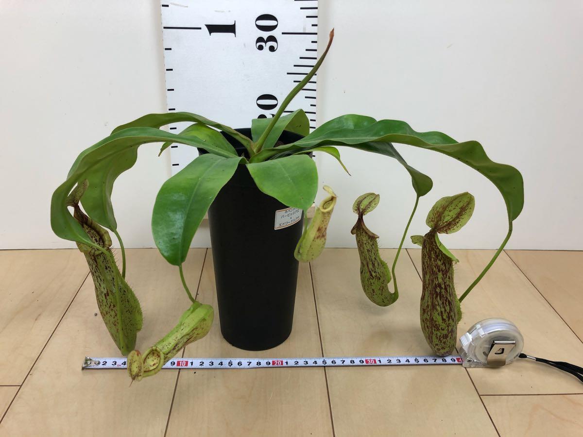 【食虫植物 ネペンテス  ウツボカズラ 3.5号 5鉢セット】 _画像5