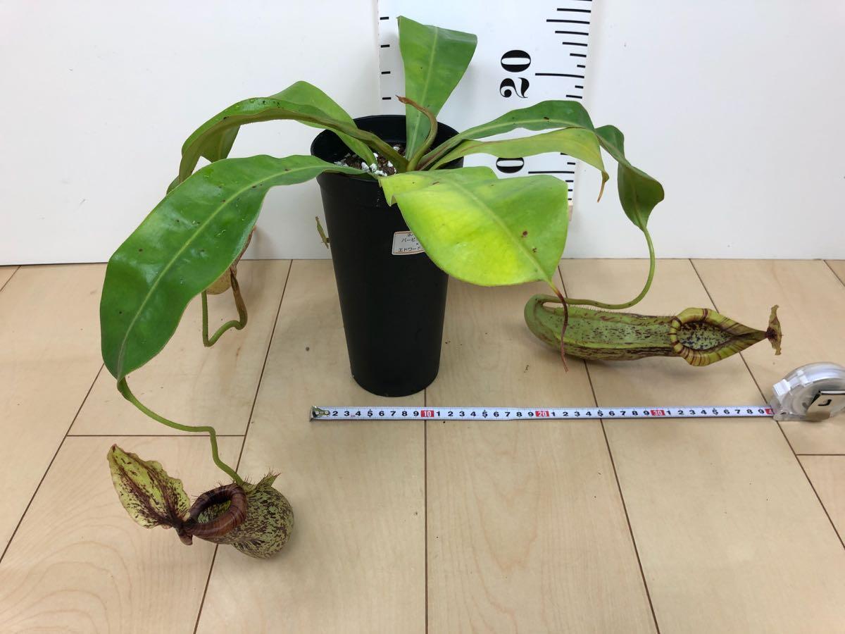 【食虫植物 ネペンテス  ウツボカズラ 3.5号 5鉢セット】 _画像9