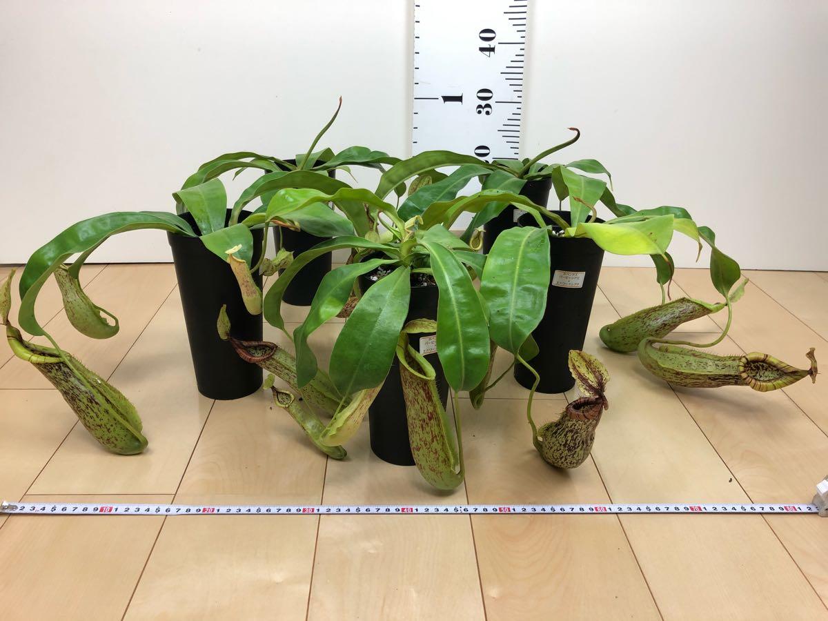 【食虫植物 ネペンテス  ウツボカズラ 3.5号 5鉢セット】