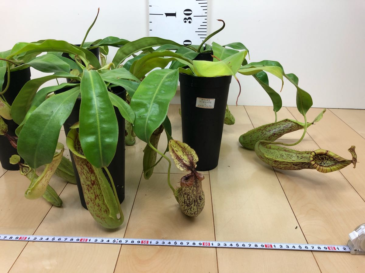 【食虫植物 ネペンテス  ウツボカズラ 3.5号 5鉢セット】 _画像3
