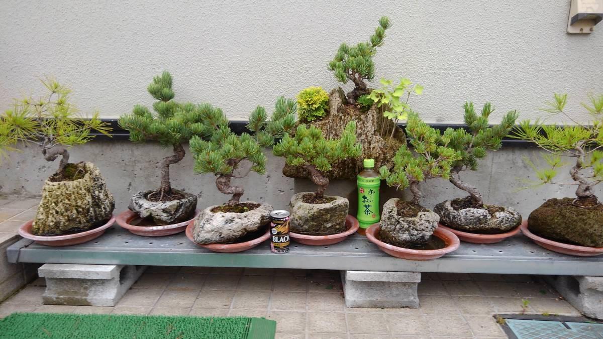 15年前後の五葉松5個と赤松2個