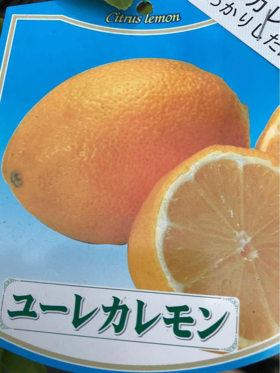 ユーレカ檸檬(レモン)苗木_画像1