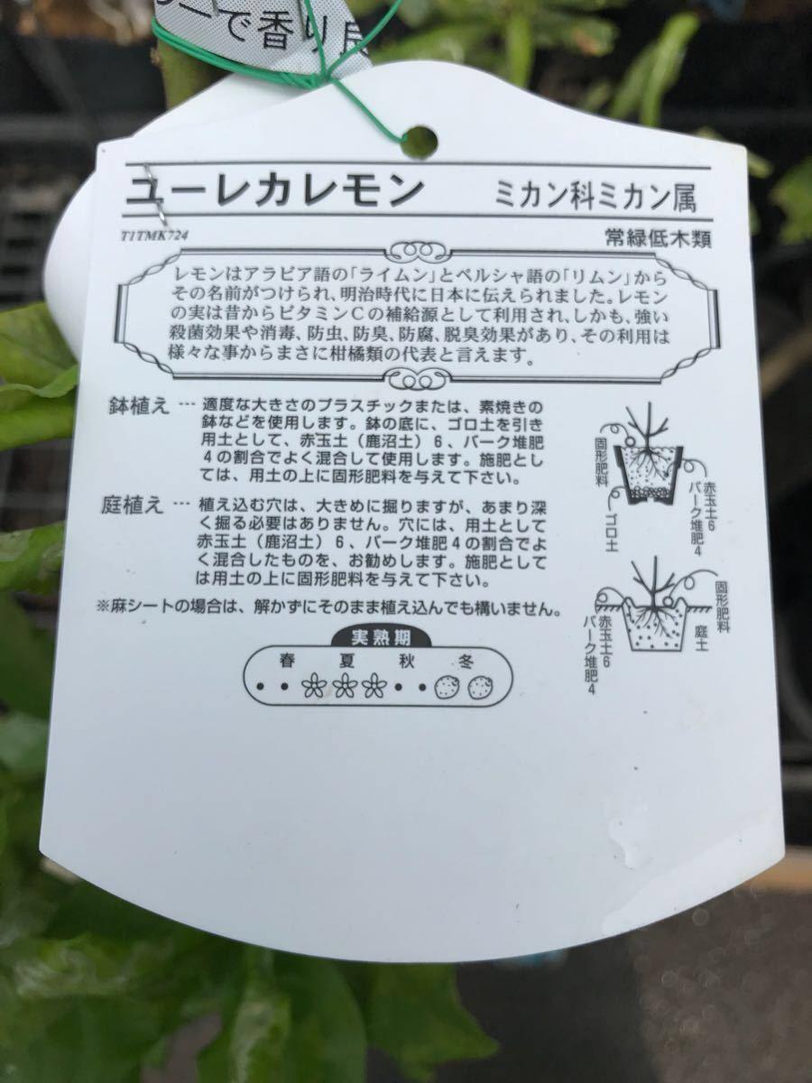 ユーレカ檸檬(レモン)苗木_画像2
