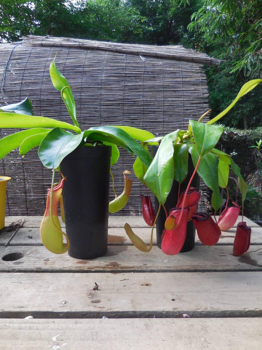 ★食虫植物  ウツボカズラ  ネペンテス レディラック&アラタ 2種2鉢セット_画像2