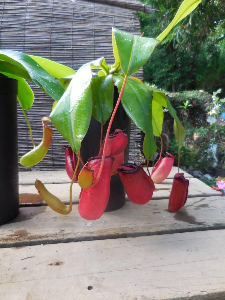 ★食虫植物  ウツボカズラ  ネペンテス レディラック&アラタ 2種2鉢セット_画像3