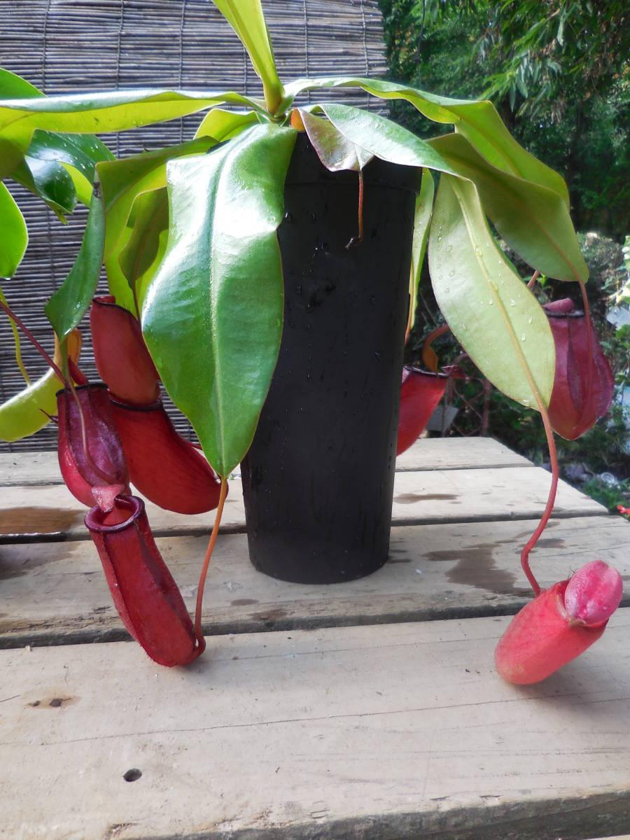 ★食虫植物  ウツボカズラ  ネペンテス レディラック&アラタ 2種2鉢セット_画像4