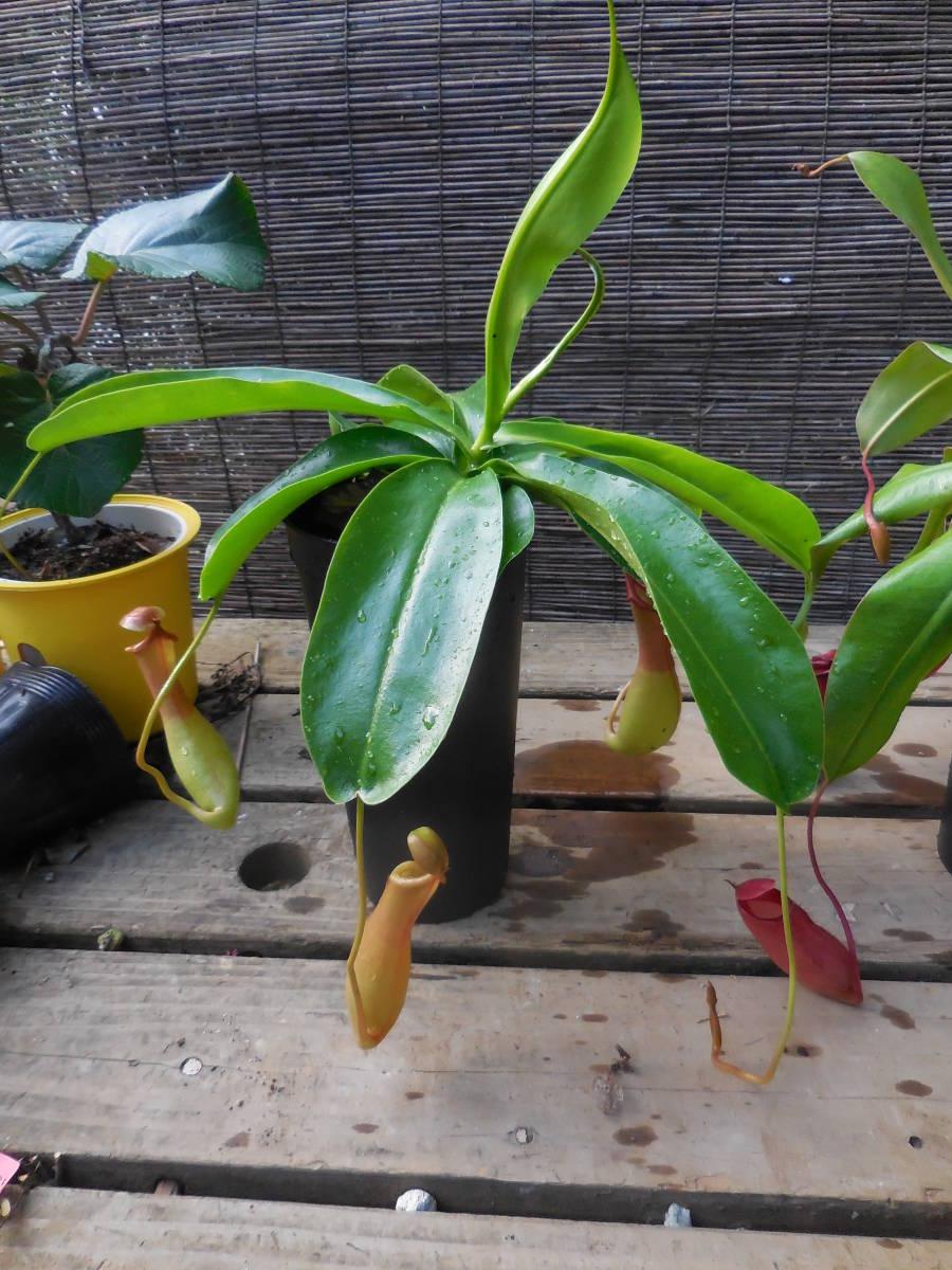 ★食虫植物  ウツボカズラ  ネペンテス レディラック&アラタ 2種2鉢セット_画像8