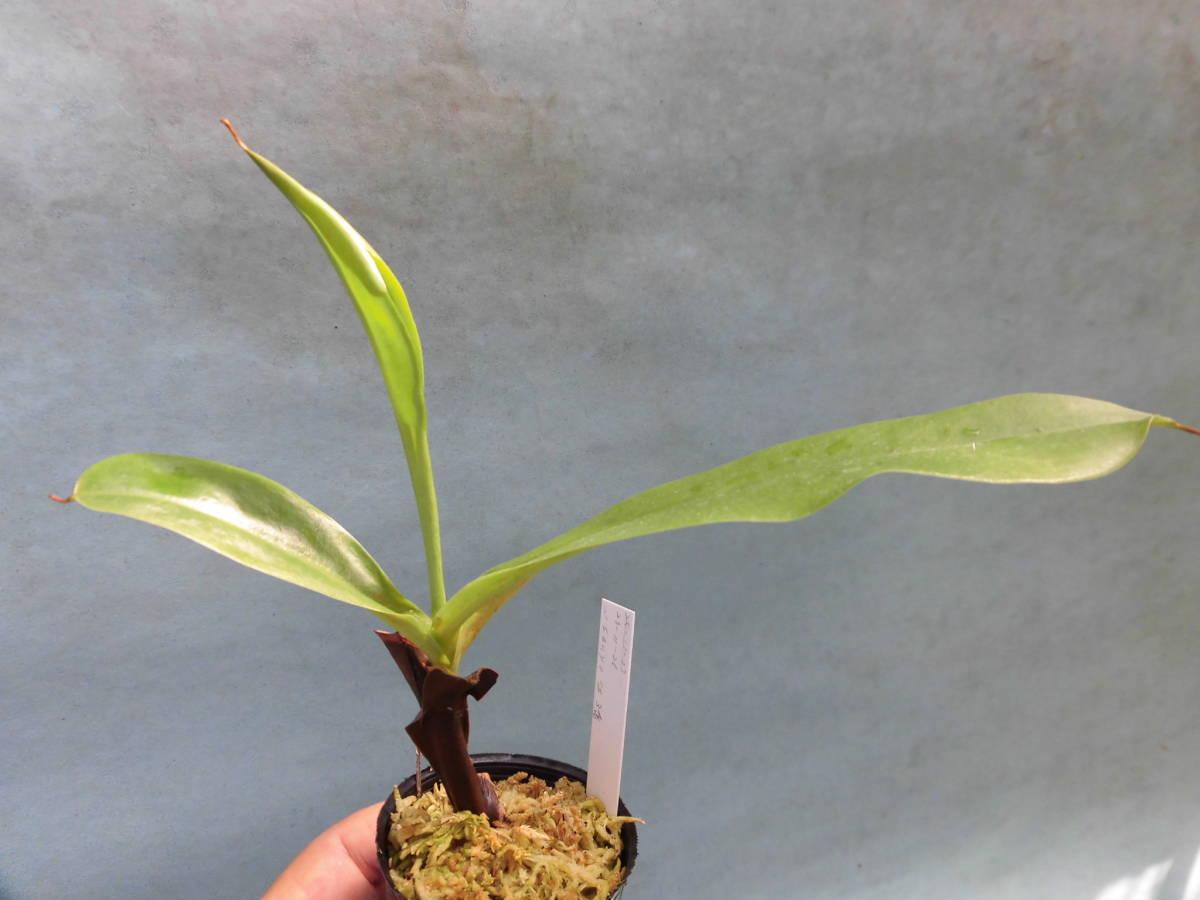 食虫植物 ネペンテス サンヨウ