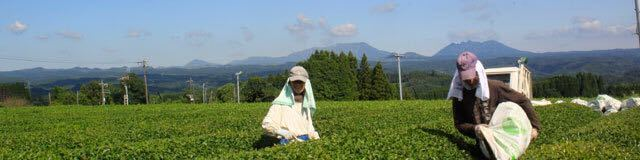 3個セット 宮崎茶房(有機JAS認定、無農薬栽培)、有機熟成三年番茶(薪火仕上げ)120g_画像2