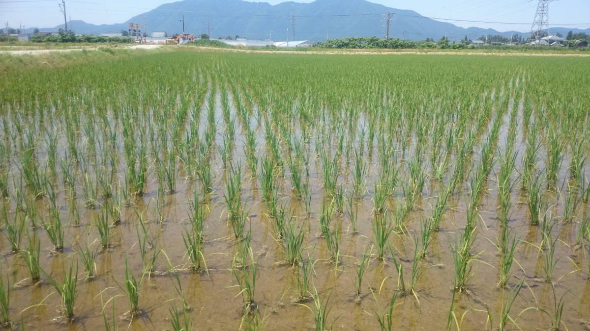 【令和2年産】 農薬約9割減 新潟県認証 特別栽培米コシヒカリ 真空包装玄米5kg_画像1
