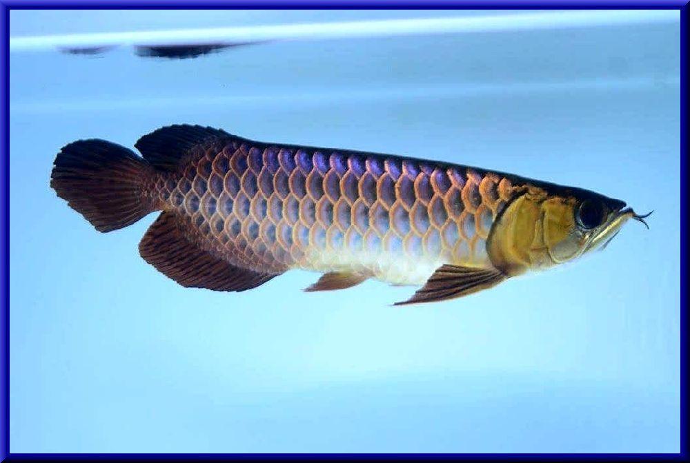 ジョーホールブルースペシャル個体!金質も抜群で白水槽で生涯青い藍底!!1203