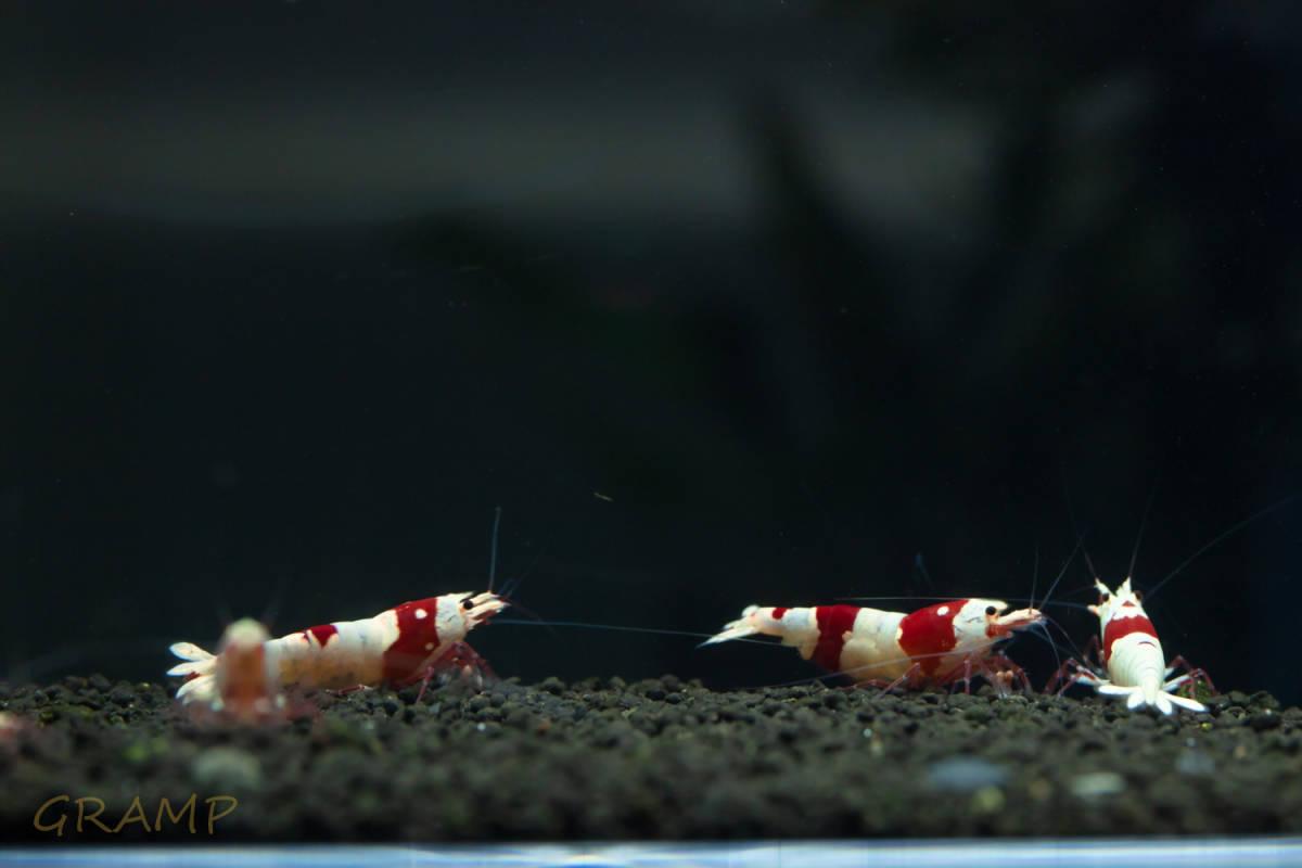〓GP〓 レッドビーシュリンプ オス1匹メス4匹(1匹抱卵中)5匹繁殖セット_画像2