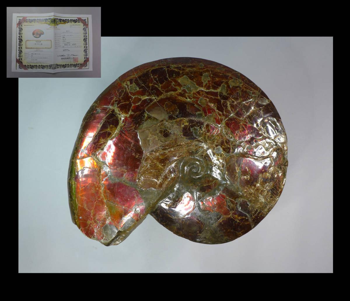 アンモライト  化石 51cm 24・5kg 巨大 日米宝石鑑別センター 検/宝石原石鉱物観賞石銘石水石オパール