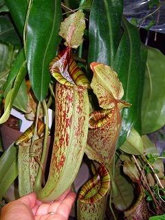 ネペンテス・ダイエリアナ 食虫植物