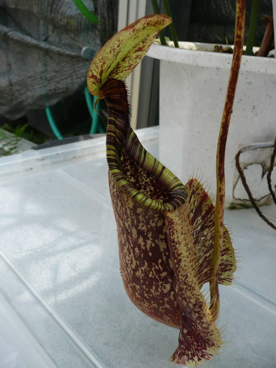 ネペンテス・ラフレシアナ 食虫植物