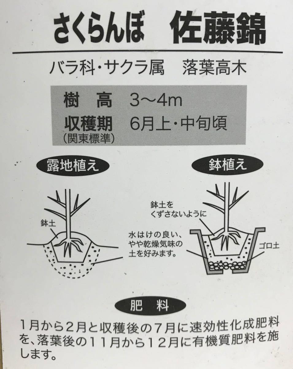 佐藤錦サクランボ苗木_画像2
