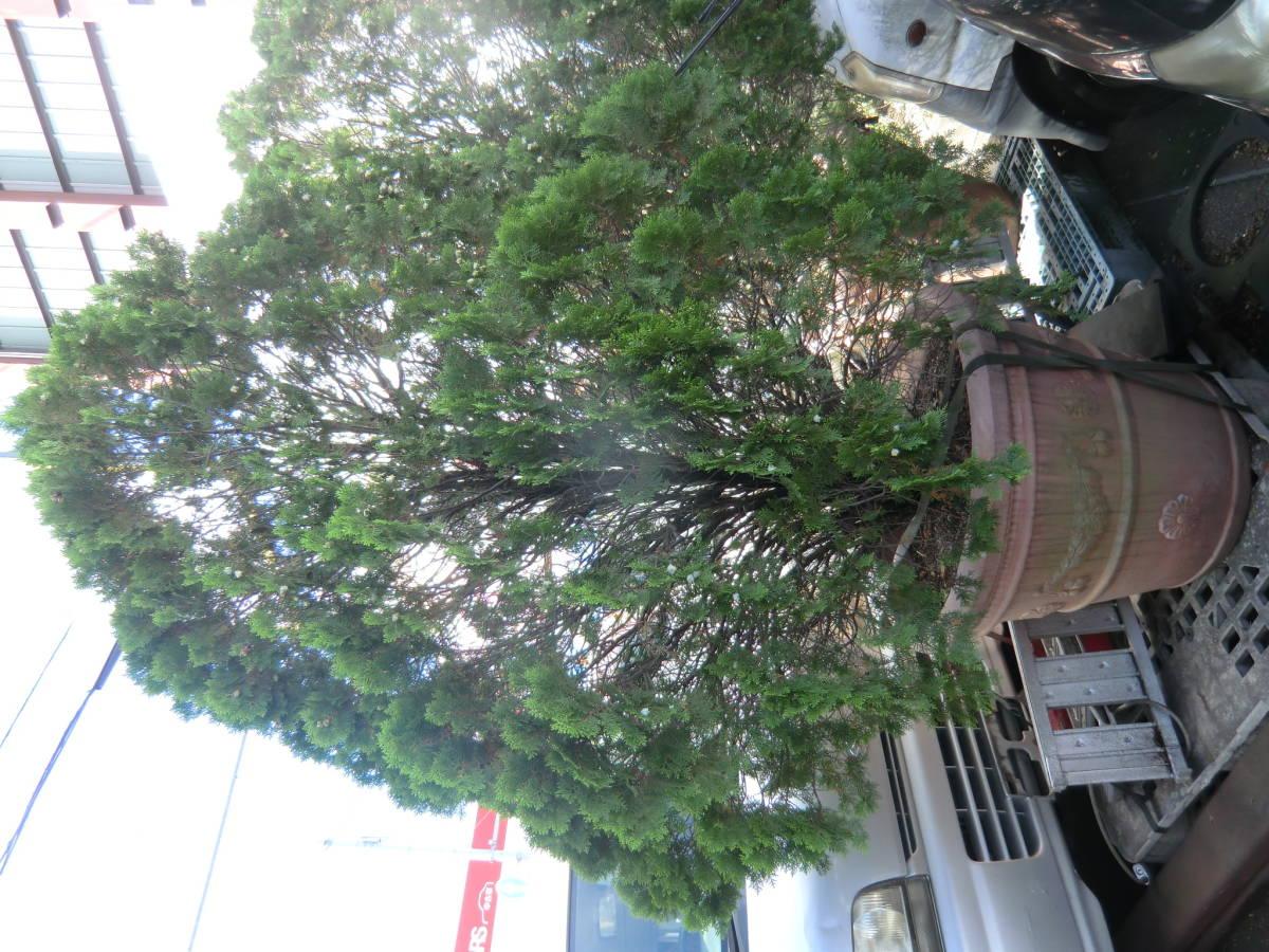 627f34ba74 代購代標第一品牌- 樂淘letao -  大型鉢植えコニファーお庭のアクセントにクリスマスツリーにも商店店舗植込造園庭園ガーデニングイベント豪邸西洋町田手渡