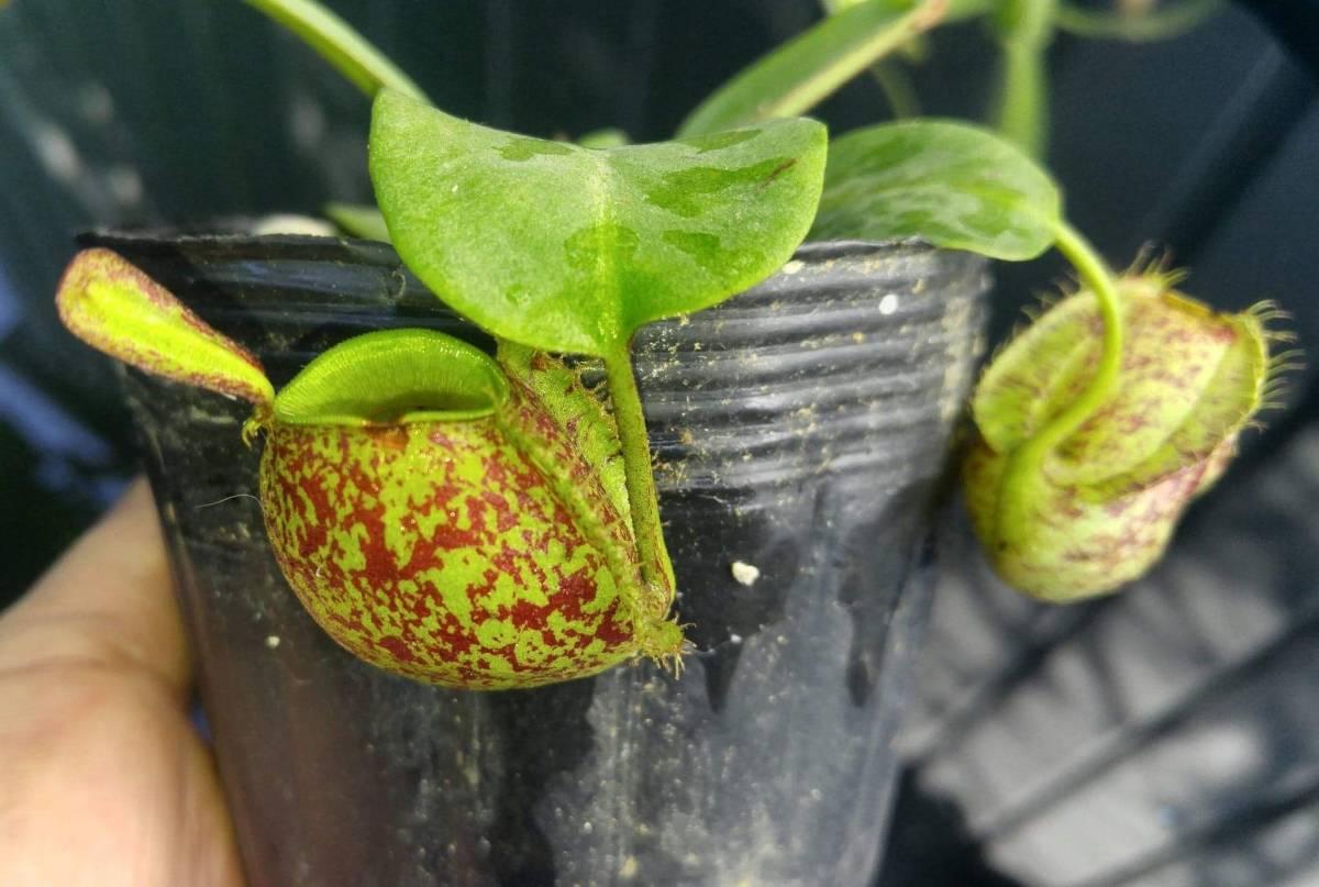 食虫植物 ネペンテス N. ampullaria Irian Jaya NR_画像4